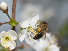 bee collects nectar on the flowers of cherry photo