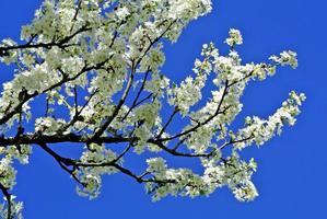 Blossom of a pear tree