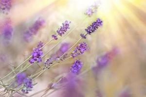Beautiful lavender lit by sunbeams (sun rays)