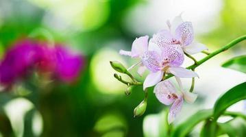 Laeliocattleya orchid hybrid