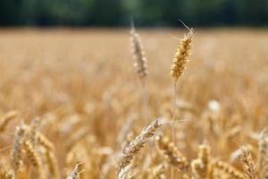 Ear of mature grain photo