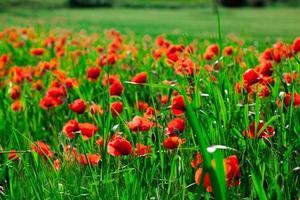 red poppies in field photo