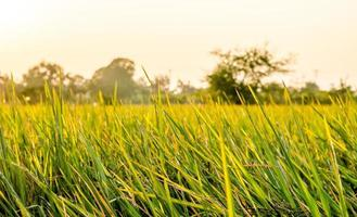 The green and golden color on the paddy fields.