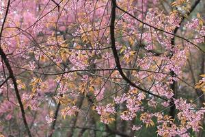 pink sakura flower tree background
