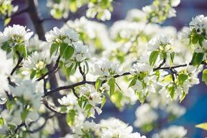 brunch de árbol floreciente con flores blancas o