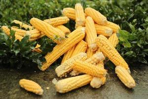 Fresh yellow corn on green leaves photo