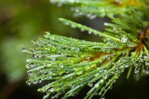 pino después de la lluvia