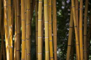 Detail of Yellow Bamboo Canes. photo