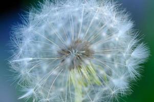 Diente de león blanco (taraxacum officinale) macro flor foto