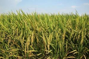campo de arroz con cáscara de cosecha foto