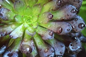 Bicolor Hens and Chicks photo