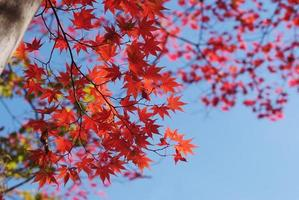 Deep red maple leaves