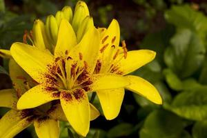Yellow lily flowers.