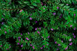 False heather,Elfin herb photo