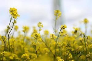 Blooming rape field