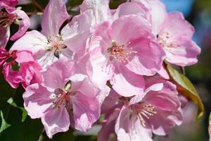 Pink spring flowers.