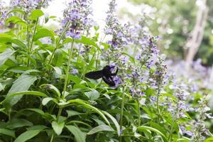 Closeup image of violet lavender flowers photo