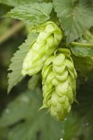 hops after summer rain