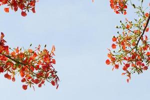 Delonix Regia in red bloom in a park in VietNam photo