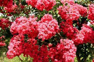 Pink flowers on crepe myrtle tree photo