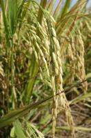 Ripe rice grains in Asia before harvest photo