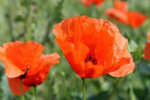 orange bright poppies photo