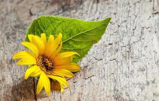 Small yellow sunflower with green leaf