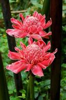 Tropical flower of red torch ginger.