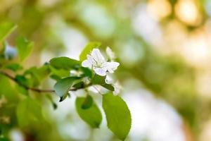 blossoming apple tree branch selective focus soft blur toned photo