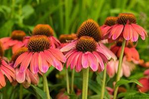 flores de equinácea rosa en flor foto
