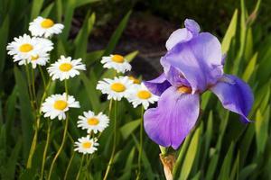 Purple Bearded Iris and Shasta Daisies
