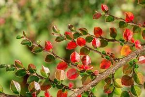 rama de cotoneaster en otoño foto