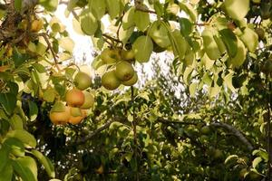 Pears on tree photo