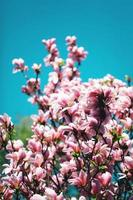 Pink magnolia blooming photo