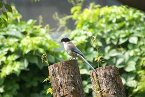 common magpie photo