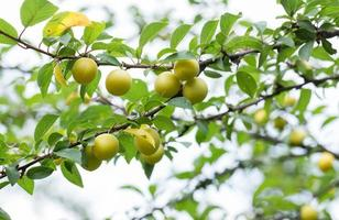 Cherry plum in fruit orchard.