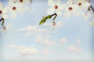 blossom apple tree photo