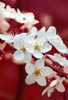 Branch of cherry flowers on red background