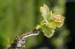wijnstokblad in de lente-wijngaard ten zuidwesten van Frankrijk, wijnstok van Bordeaux
