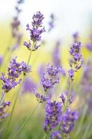 Lavender flowers background photo