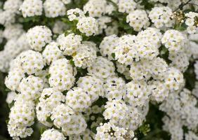 Bush verde con racimos de flores blancas antecedentes