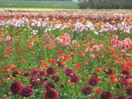 Multi-Colored Dahlias In Field photo