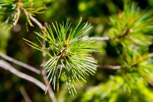Young pine tree branches photo