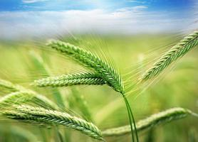 Green wheat field with blurred background photo