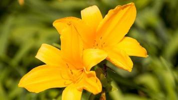 flor de dayliliy. detalle.
