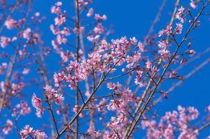 Beautiful Pink Sakura on blue sky
