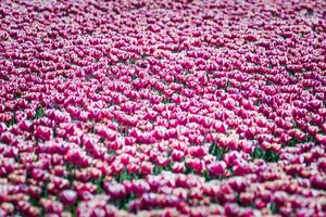 Tulips in spring sun.