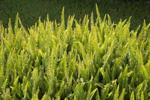 Fern (Monilophyta, Polypodiophyta, Filices, Filicophyta) bush ba