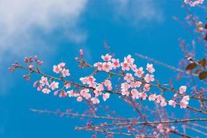 Sakura flowers, is on blue sky background
