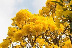 Paraguayan silver trumpet tree